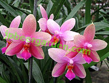 Мирисни Пхалаенопсис Лиодоро: историја појаве, карактеристике цветања и правила неге