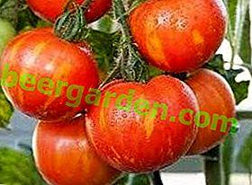 Красивий і стійкий до хвороб сорт томата «Товстий боцман» - опис і рекомендації по вирощуванню