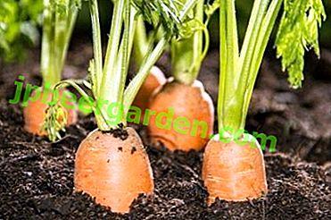 Якими народними засобами можна підгодувати морква і як це зробити?  Чим користуватися не рекомендується?