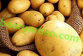 Leckere und schöne Sorte Caprice-Kartoffeln: Beschreibung der Sorte, Eigenschaften