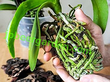 Come usare Kornevin e altri stimolanti per le orchidee e perché devo coltivare le loro radici?