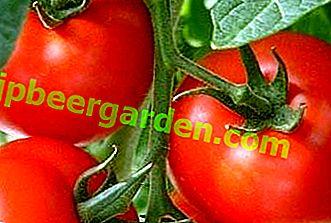 """Descrizione e caratteristiche di un ibrido fruttuoso e gustoso - varietà di pomodori """"President"""" F1"""