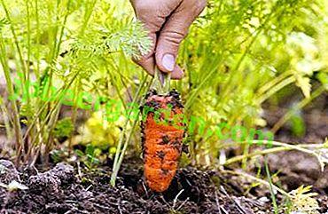 Und alles ist ganz einfach: Wie man Karotten für den Winter im Boden aufbewahrt