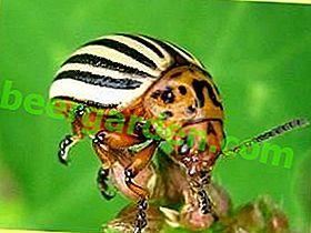 Кращі препарати боротьби з колорадським жуком (частина 1)