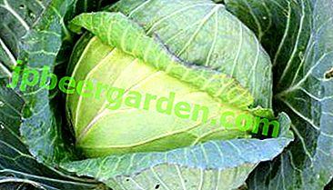 Корисна і смачна Колобок капуста: поради по вирощуванню і зберігання врожаю