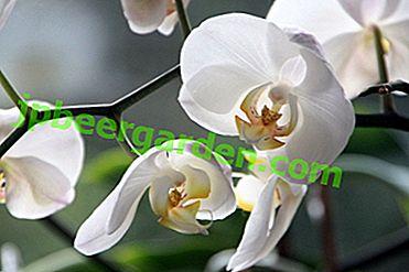Бели орхидеи.  Най-добрите сортове фаленопсис и се грижат за тях