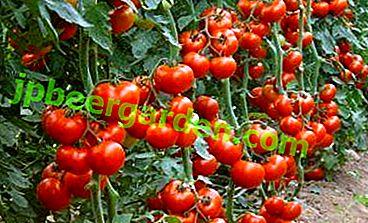 Qu'est-ce qu'une variété de tomate indéterminée?  Ses avantages et ses inconvénients