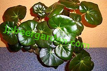 Опис прекрасне собне биљке бегоније Фист.  Савети за негу, цветна фотографија