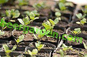 Вирощуємо баклажани: посадка на розсаду, терміни перших сходів, догляд за молодими саджанцями