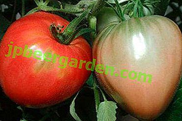 Ідеальний для відкритого грунту томат «Севрюга»: характеристика і опис сорту, фото
