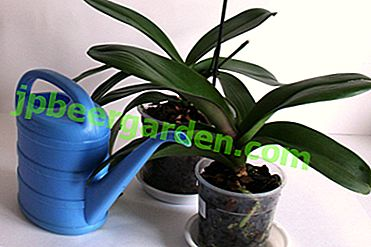 Quelles sont les caractéristiques de l'humidification des orchidées en hiver et en automne?  Comment arroser en ce moment?