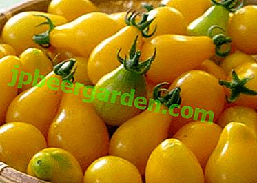 """Variété de tomate """"Golden Drop"""" - une description d'une mini-tomate jaune avec une saveur de fruit"""