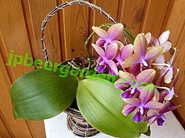 Ароматне тропічне диво - орхідея Ліодор.  Детальний опис і правила вирощування