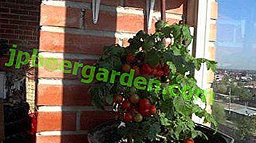 Tecnologia per la coltivazione di pomodori sul davanzale della finestra.  Istruzioni dalla A alla Z.