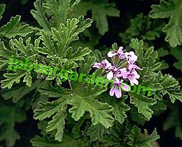 Docteur sur le rebord de la fenêtre - Géranium parfumé: propriétés médicinales et contre-indications