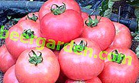 """Pomodoro di manzo """"Rosa carnoso"""", popolare tra gli agricoltori, descrizione del grado"""