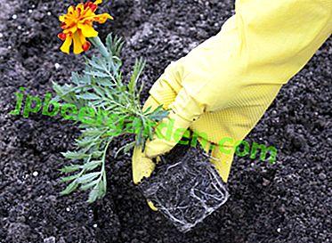 L'une des fleurs les plus sans prétention - les soucis.  Quand planter et comment le faire, ainsi que les règles de soins
