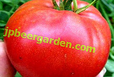 """Вкусни домати """"Волгоград Розово"""": характеристики на отглеждането и описание на сорта"""