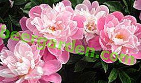 Regeln für das Pflanzen im Herbst und Frühling und die Pflege von Pfingstrosen