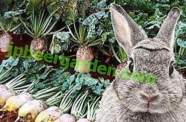Caracteristici ale utilizării sfeclei furajere de către animale - este posibil să se dea iepuri, găini, capre și alte vite?