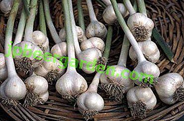 Sai abbastanza sulla cura dell'aglio invernale, delle sue malattie e delle caratteristiche nutrizionali?