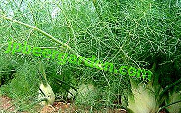 Популярно про вирощування фенхеля.  Інструкція по розмноженню насінням і розсадою