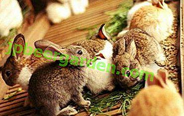 Важно е да запомните за отглеждащите зайци: възможно ли е да давате киселец на животни и как да го направите?