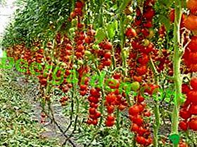 Schritt-für-Schritt-Tomaten in einem Gewächshaus: Schema, Bildung eines Busches, Zeit, Merkmale, Foto