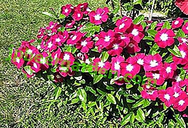 Fleur originaire de Madagascar - Catharanthus: culture et entretien, photo