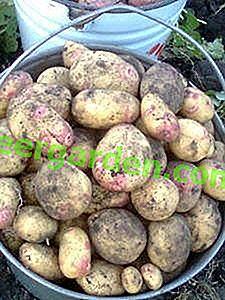 """Vielseitige Kartoffel """"Vierzig Tage alt"""": Sortenbeschreibung, Foto, Anbau-Tipps"""