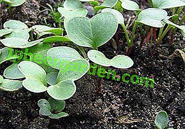 Dates de croissance des radis: quand et comment planter au printemps en pleine terre?