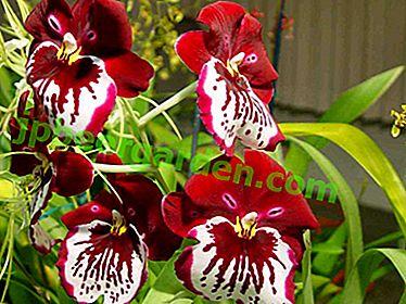 Невероятно красива орхидея Miltonia - снимка, описание на сортове, характеристики на грижа