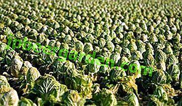Kohl im Freien anbauen: Gemüse pflanzen und pflegen