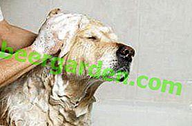 Und gewaschen und geheilt!  Flohshampoo für Hunde für Erwachsene und Welpen