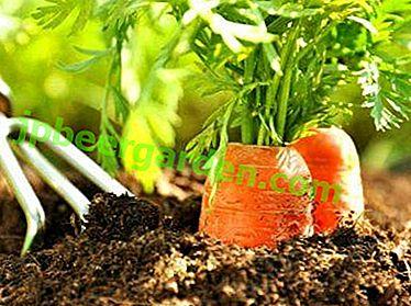 Wann Karotten pflanzen und ist es im Juli oder Juni möglich?  Welche Sorten sind geeignet?