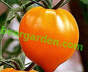 Orangenwunder mit köstlichem Geschmack - Golden Heart Tomate: Eigenschaften und Beschreibung der Sorte, Foto