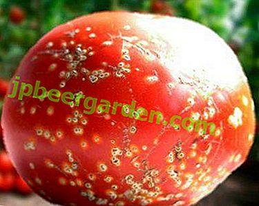 Wir kämpfen mit Tomatenkrankheiten: eine Beschreibung möglicher Probleme, Fotos und Methoden zur Behandlung von Pflanzen