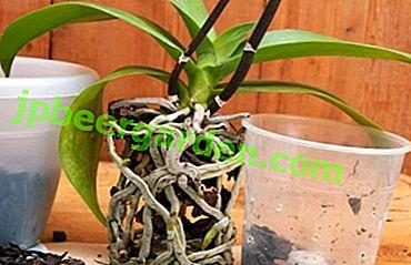 Die Nuancen der Transplantation einer Phalaenopsis-Orchidee zu Hause.  Wie gehe ich Schritt für Schritt vor?