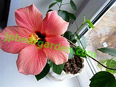 De ce frunzele de hibiscus din interior se îngălbenesc și cad?  Recomandări pentru soluționarea posibilelor probleme