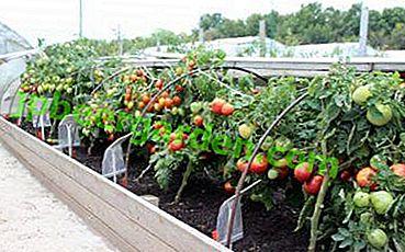 Колко важно е да определите желаната празнина между доматите и на какво разстояние един от друг, за да ги засадите?