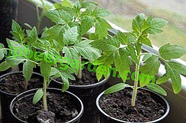Aus welchen Gründen können sich Tomatensämlinge ausstrecken und was tun, wenn dies passiert?
