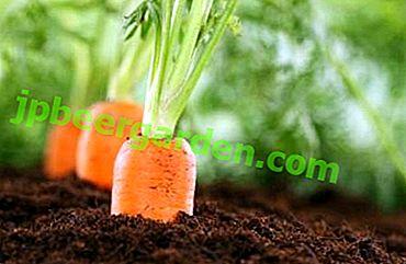 Qu'est-ce qui détermine le moment de planter les carottes au printemps et quand est-il préférable de les planter?