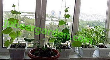 Практичний посібник, як вирощувати гарні помідори і огірки в квартирі на балконі