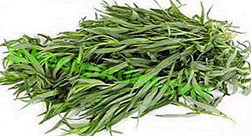 Як можна з насіння і іншими способами одержати хороший урожай естрагону?  Вирощування тархуна в домашніх умовах