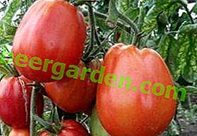 """Одабрани парадајз """"Сто килограма"""": фотографија, опис и опис сорте, фотографија плодова парадајза"""