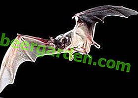 Види кажанів: вампір, біла, фруктова, свіноносая, бульдоговая і інші