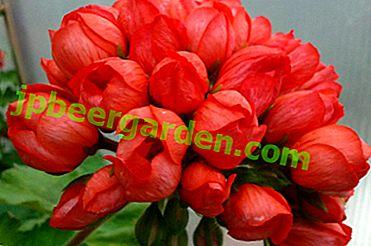 Дуже незвичайна і приваблива герань - тюльпановідная.  Особливості вирощування та правила догляду