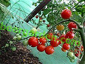 Tomates cerises: comment cultiver les meilleures variétés en serre?