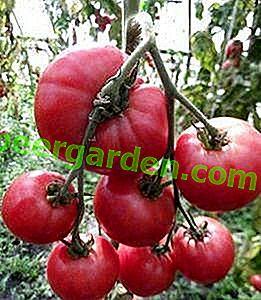 Eine Neuheit, die Aufmerksamkeit verdient, ist die Himbeer-Rhapsodie-Tomate: Beschreibung der Sorte