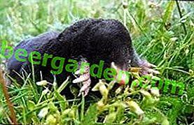 Jakie korzyści i szkody przynoszą mole do gleby?